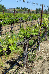 Rideau Vineyard, Santa Ynez IMG_5361