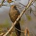 Small photo of Jungle Babbler (Turdoides striata)