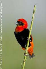 Red bishop Euplectes orix