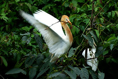 黃頭鷺築巢