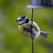 S0151187 hanging blue tit crop