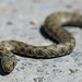 Grass Snake (Judith Rolfe)
