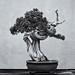 Californian Juniper bonsai by Tim Ravenscroft