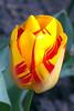 Tulip, Donington le Heath Manor House