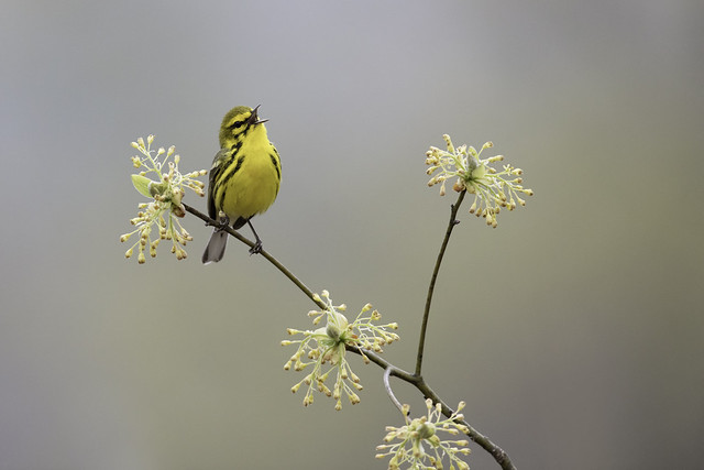 Prairie Warbler on Sassafras, Canon EOS 5DS, Canon EF 600mm f/4L IS