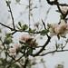 Apple blossom Love I by linda.richtersz