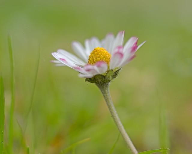 A common daisy