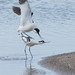 Small photo of Avocets