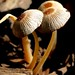 tiny shrooms by laurie_frisch