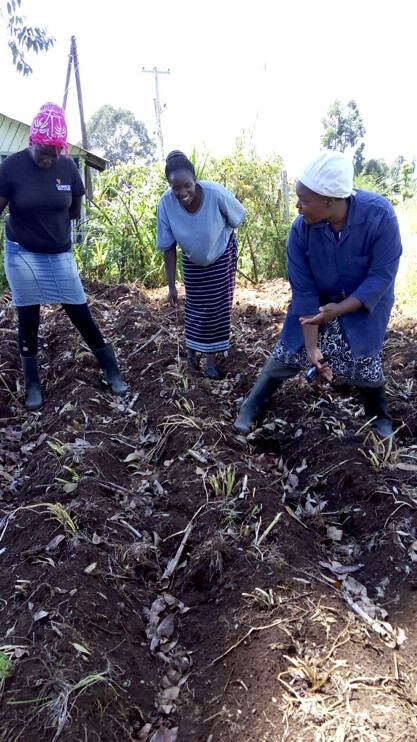 VPA Catherine Kirema demonstrating how to cut the stems or 'dehaulm' the crop to ensure the skin on the potato tubers is well formed and that tubers for seed do not get too big.