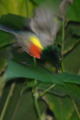 Entebbe, Uganda - Entebbe Botanical Gardens - Olive-bellied Sunbird