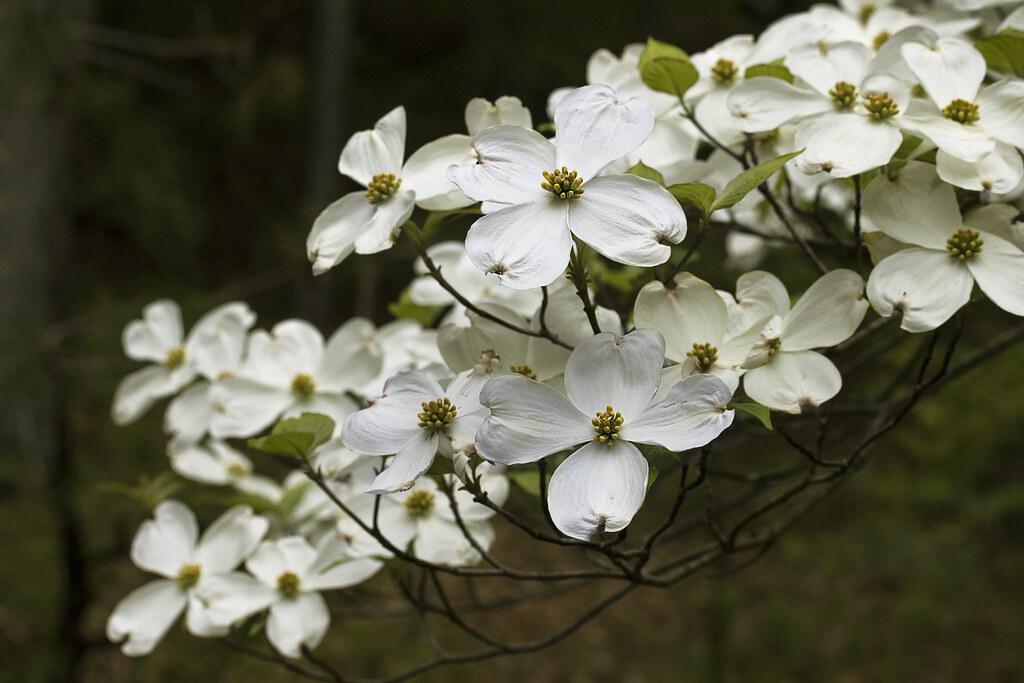 Dogwood Flowers Liz West Flickr