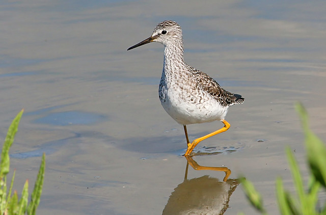 Lesser Yellowlegs (Tringa Flavipes), Canon EOS 70D, Canon EF 300mm f/4L IS