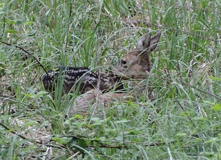 Roe deer mom with fawn