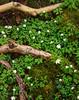 Wood Anemones, Velvia 50 5x4