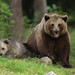 Brown Bear and Cub (Jonathan Mercer)