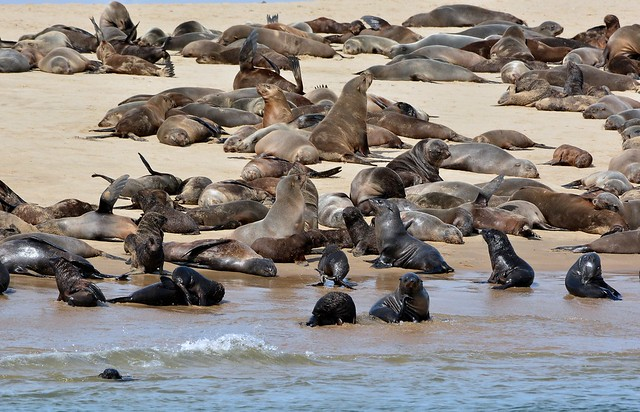 Cape fur seals on the Pelican Point sand spit around Walvis Bay, West coast of Namibia.