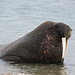 Walrus (Robin Couchman)