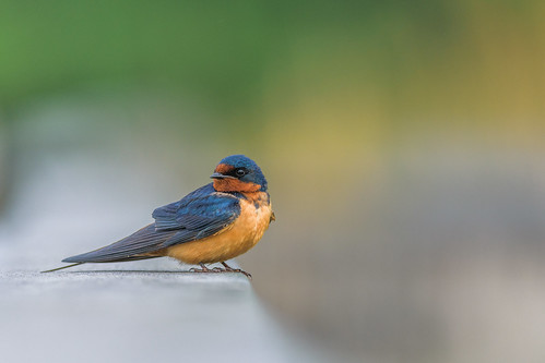 heinz bird swallow hirundorustica wildlife johnheinznwr barnswallow nature philadelphia pennsylvania unitedstates us nikon d7200