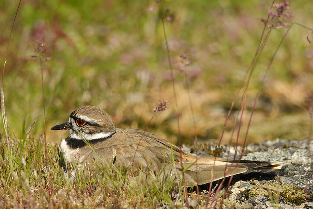 20170507 Cattle Point Killdeer, Nikon D7000, AF-S Nikkor 300mm f/4D IF-ED
