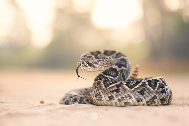 Eastern Diamondback Rattlesnake (Crotalus adamanteus)