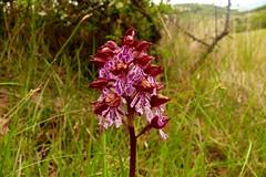 Sortie orchidées à Eyroles