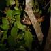 Western Night Monkey (Tarina Hill)