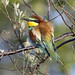 Bee Eater (Kevin Elsby)