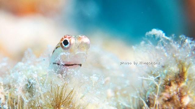 極小イシガキカエルウオ幼魚ちゃん♪ まだ体が半透明だw 口の開け具合がなんともたまらんw