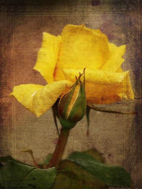 Yellow Rose, Panasonic DMC-GF3, Lumix G Vario 45-200mm F4.0-5.6 Mega OIS