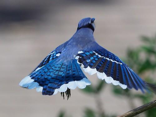bluejay texasbirds huntwick huntwickbirds houston houstonnature jamesbatt