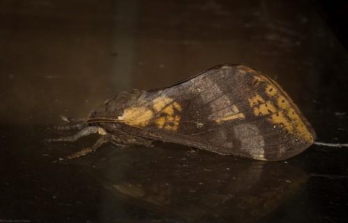 arthropoda insecta lepidoptera hepialidae oxycanus swiftmoth australianmoths australianinsects tamborinemountain mounttamborine sequeensland australia