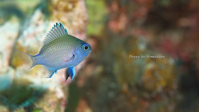 この季節は毎日撮りたい!アマミスズメダイの幼魚