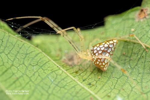 Mirror spider (Thwaitesia sp.) - DSC_4388