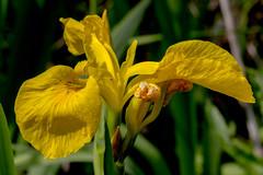 Yellow pond Iris