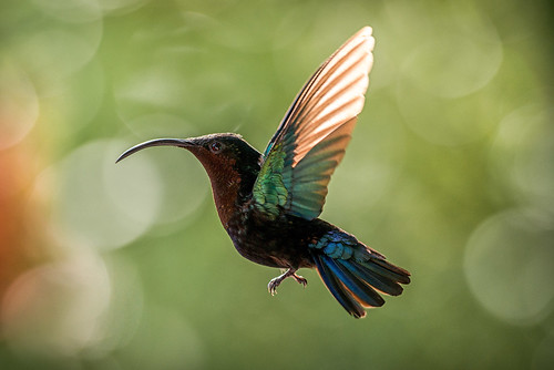bird nature flower sunlight animal colors garden wildlife outdoors backlit wild hummingbird de birdwatching landscape orientation midflight no person france martinique caribbean jardin sea french west indies balata purplethroated carib tommi aarnio tommy aarnyo