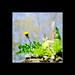 dandelion by derbaum
