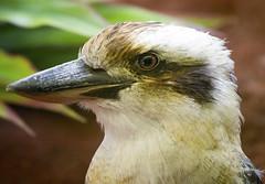 Memphis Zoo 08-31-2016 - Kookaburra 2