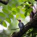 Black-cheeked Woodpecker (Ian Talboys)
