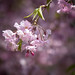 Sakura Glow by jasohill