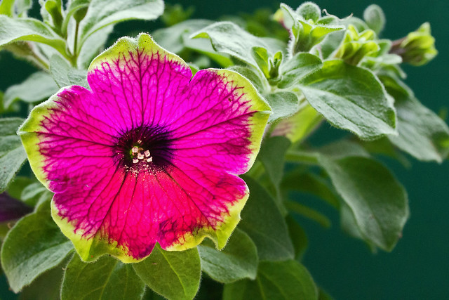 Buzz Purple pollen burst, Canon EOS 550D, Canon EF-S 60mm f/2.8 Macro USM