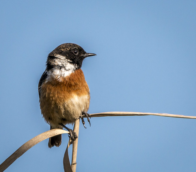 Stonechat, Canon EOS 70D, Sigma 150-600mm f/5-6.3 DG OS HSM | C