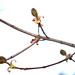 Small photo of Spring maple (Acer platanoides)