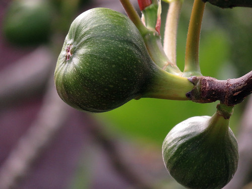 Figs in the Hortus Gardens in Amsterdam, Holland