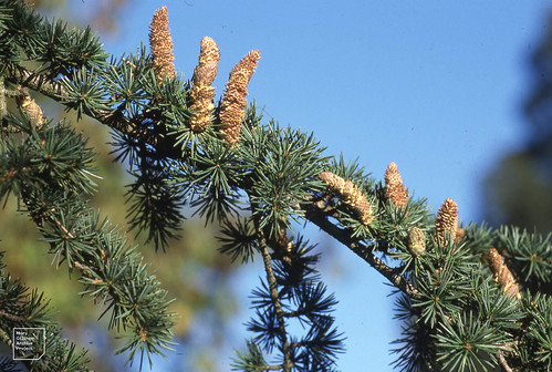 Male cones, Atlantic cedar pollen wafting out, Roath. 04/11/04