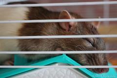 Rattie sitting - Day 10