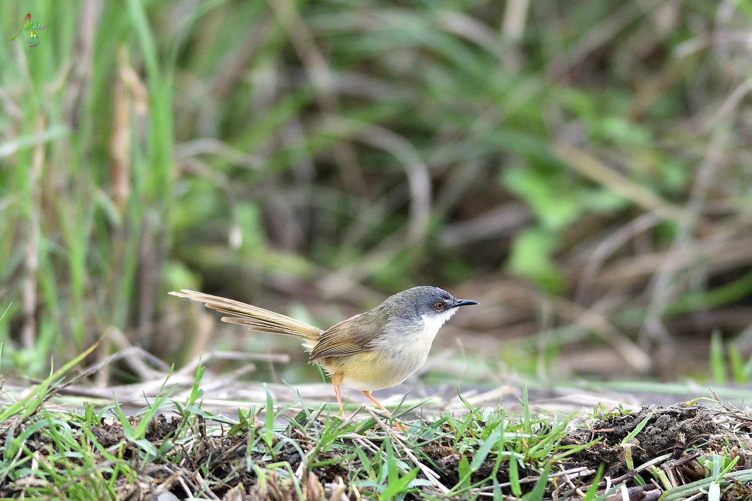 Yellow-bellied_Prinia_2830