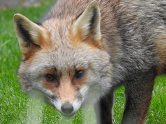 3rd  may 2017 Foxes 049