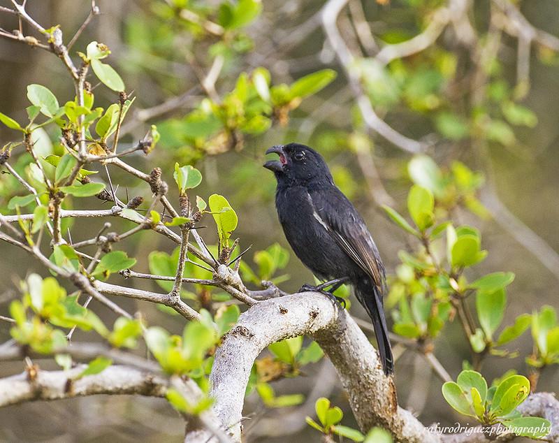 Cuban Bullfinch-Negrito-Melopyrrha nigra