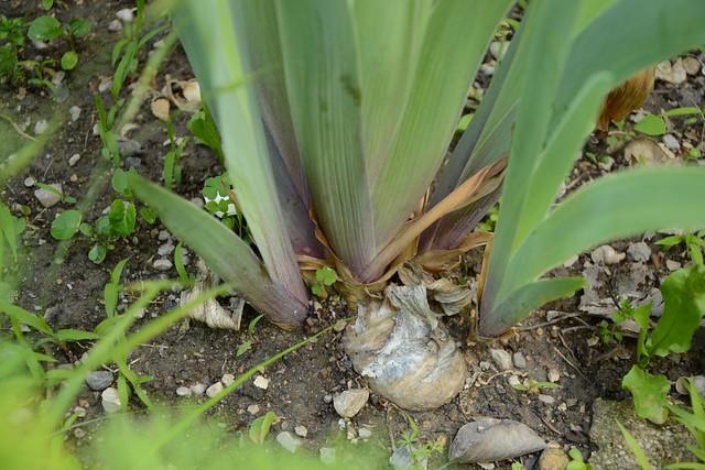 Iris 'Esclarmonde' - Ferdinand Cayeux 1947 34426176141_1a6dc1d886_z